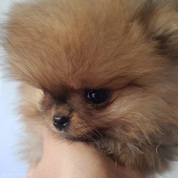 Khan Kubrat Pomeranian